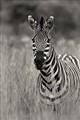dikololo zebra