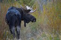A frost covered bull moose looking for love during the rut.