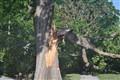 Sturdy Oak vs stiff wind