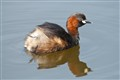 Little grebe or Dabchick