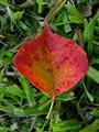 Tallow leaf