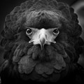 A bateleur eagle hosted at the Owl Sanctuary, Suffolk, UK