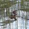 Svarthakedopping - Horned grebe (Podiceps auritus)-2