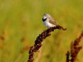 The White-fronted Chat is the real character of Australian small birds. It seems to specialise in attractive perches as it bounces around from grass to bushes to trees enjoying the sunshine