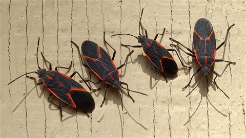 Box Elder Bugs on the Garage