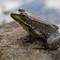 Adirondack-Frog