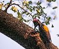 A big year Birds- Woodpecker,Golden back,