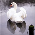 Swan ready to jump on ....
