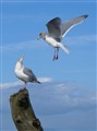 What Gulls Do