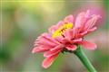 blooming pink