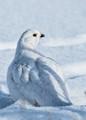 ptarmigan in winter