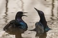 Boat Tailed Grackles