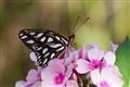 Newly Hatched Gulf Fritillary Butterfly