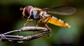 Hoverfly close-up