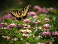 Swallowtail Aloft