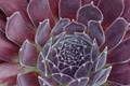 Sedum, Pacific Red