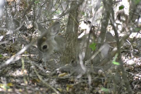 ASP,10.18.12 Deers 027