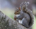Eastern Gray Squirrel with a nut