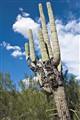 DP, Cactus