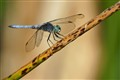 Blue Dasher on Fallen Reed