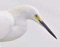 8467ec-Snowy Egret High Key