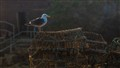 Gull On Crab Pots