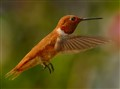 Rufous Hummingbird In-Flight
