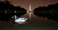 Nocturnal duck of Washington DC