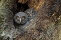Juvenile Screech Owls