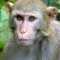 Direct Gaze: Silver River Rhesus Macaque