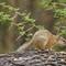 Tree Squirrel #3