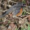 Spotted Towhee 00
