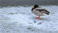 Frozen duck