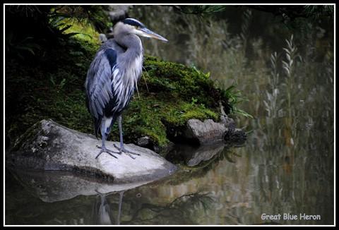 1-heron on a rock