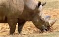 Rhino  Colchester Zoo 017-2