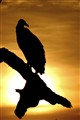 Black headed vulture at sunset