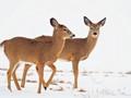 Deer  in Rideau Lakes District of Ontario