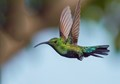 Green-throated carib hummingbird