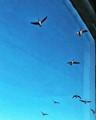 Flock o Geese