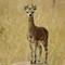 Serengeti Klipspringer