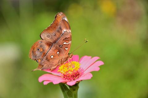 butterfly DSC_0035