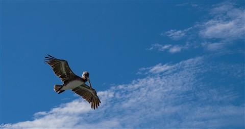 pelican 01-1112697
