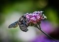 Blue Carpenter Bee