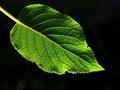 leaf contra sun