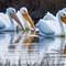 American White Pelican-584