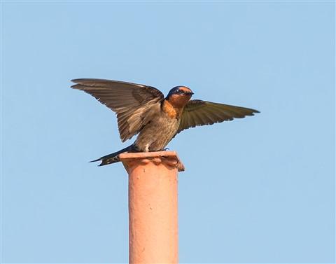pswallow-dp