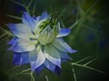 Love-In-Mist flower