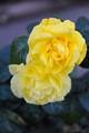 Malmary Rose