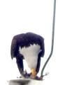 Eagle 1 - Crow 0