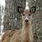 deer_9518